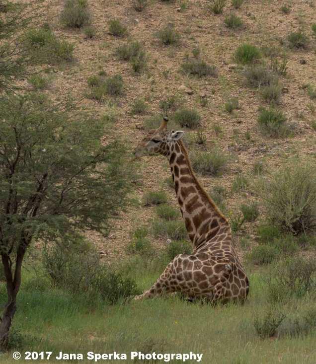 Giraffe-sittingweb