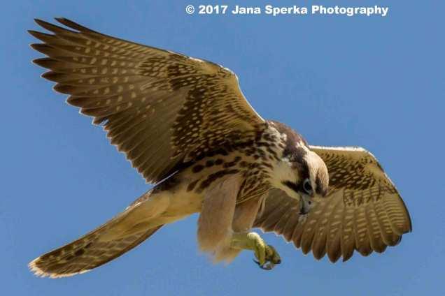 Juvenile-Lanner-Falcon-4web