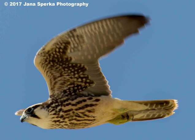 Juvenile-Lanner-Falconweb