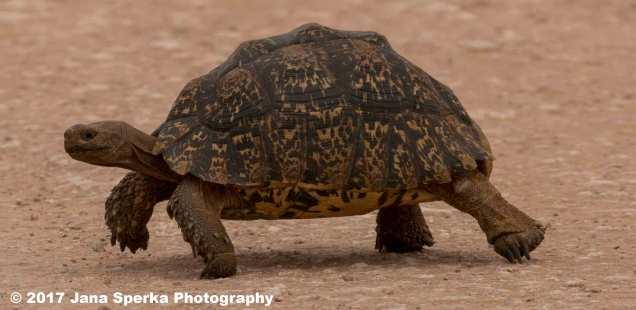 Leopard-Tortoiseweb