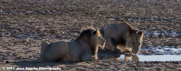 Lion-Brothers-drinking 1web