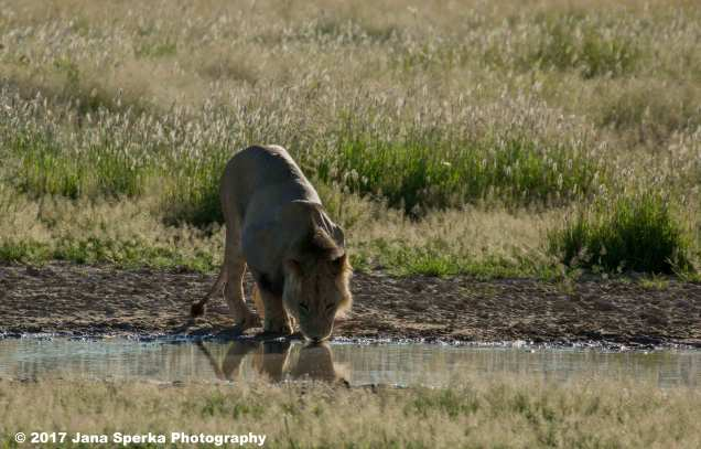 Lion-Brothers-drinking_3aweb