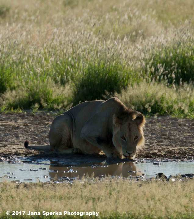 Lion-Brothers-drinking_4aweb