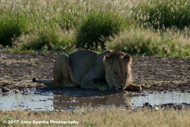 Lion-Brothers-drinking_5web