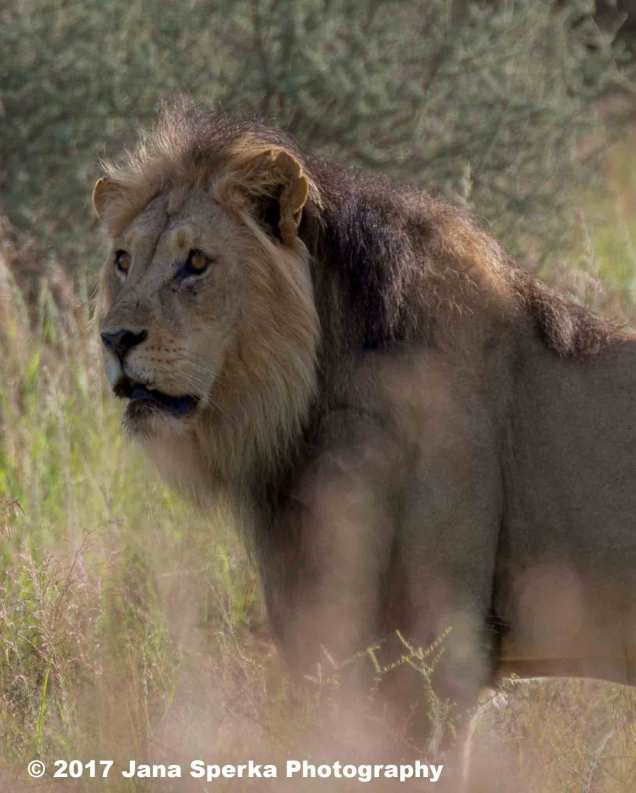 Lion-Brothers_2web