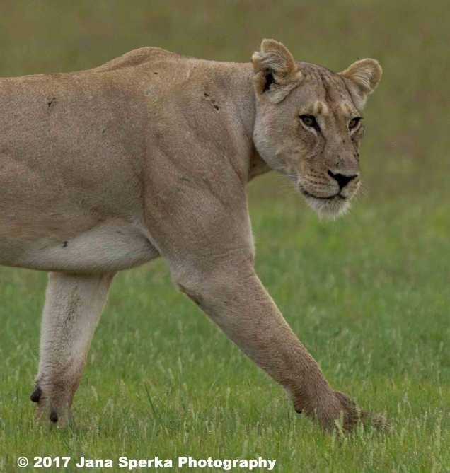 Lioness-Eating-GRass---beat-mode-on_1web