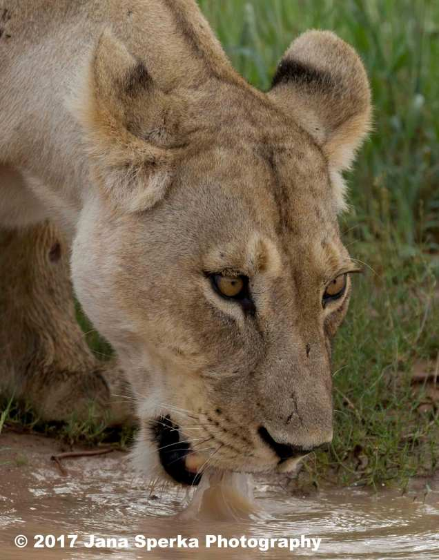 Lioness-Eating-GRass---beat-mode-on_3web