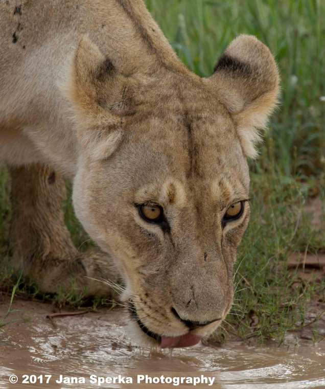 Lioness-Eating-GRass---beat-mode-on_4web