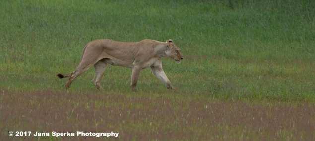 Lioness-Eating-GRass---beat-mode-onweb