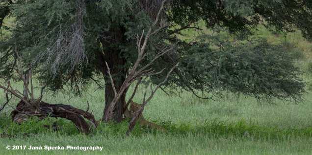 Lioness-Eating-GRass---upward-catweb