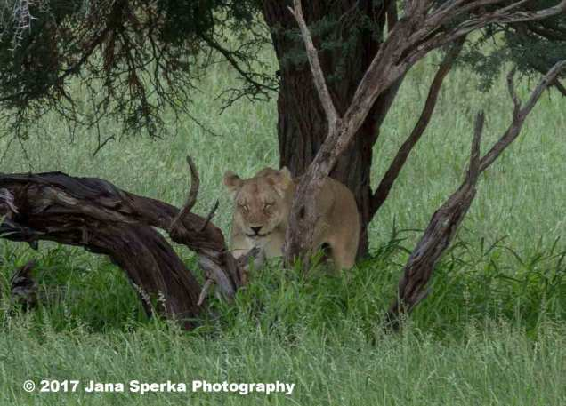 Lioness-Eating-GRass_1web
