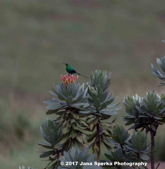 Malachite-Kingfisher_1web
