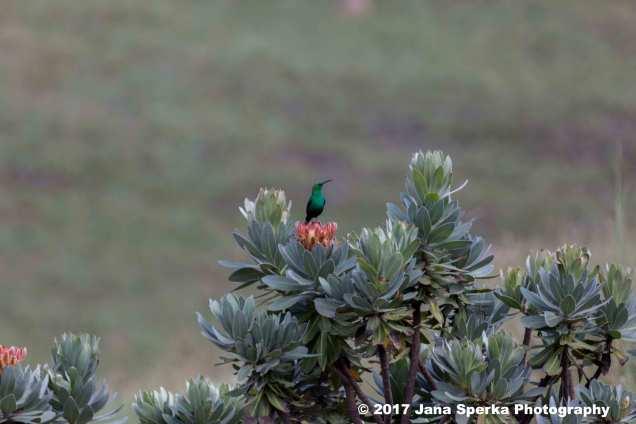 Malachite-Kingfisher_2web