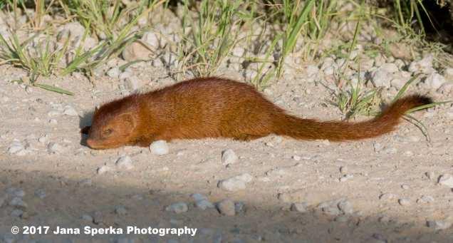 Slender-Mongooseweb