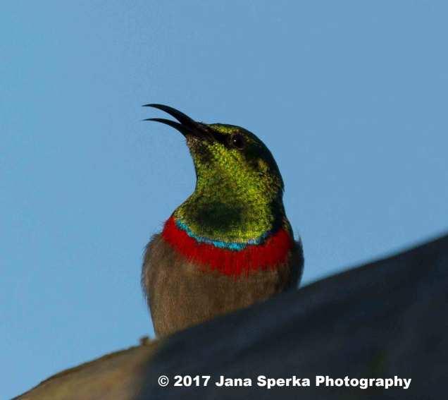 Southern-DoubleCollared-Sunbird_1web
