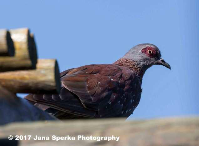 Speckled-PigeonWeb