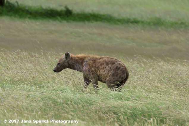 Spotted-Hyena-Injuredweb