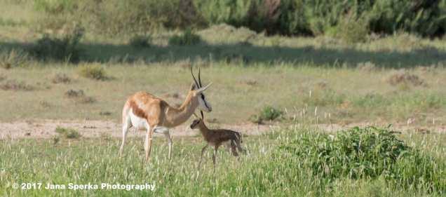 Springbok-Newbornweb