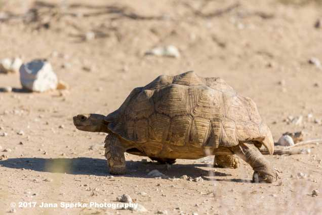 Spurred-Tortoiseweb