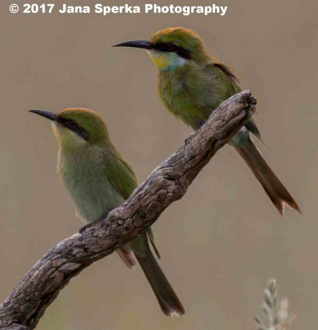 Swallow-Tailed-Bea-Eater_1web