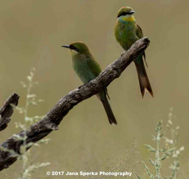 Swallow-Tailed-Bea-Eaterweb