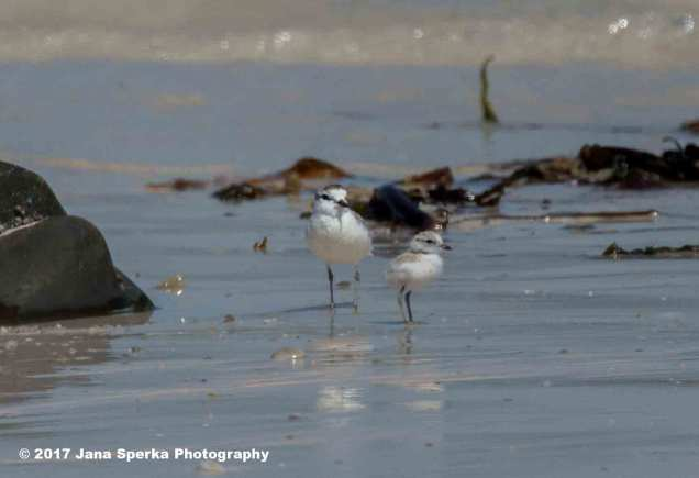 White-Fronted-Plover_1web