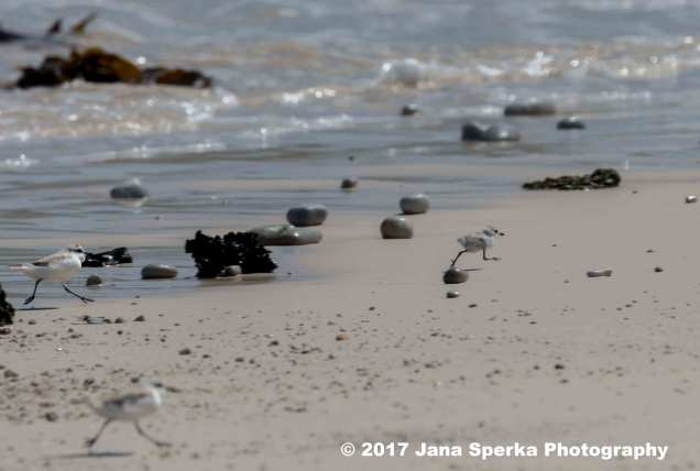 White-Fronted-Plover_2web