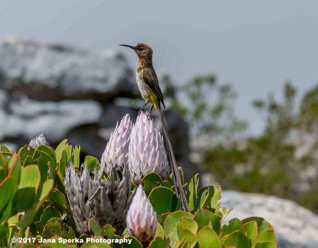 Cape-Sugarbird_1web