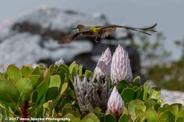 Cape-Sugarbird_2web