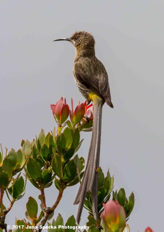 Cape-Sugarbird_4web