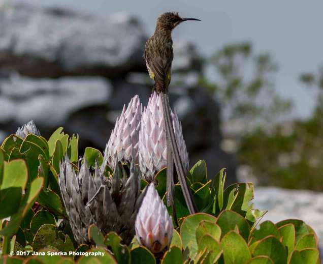 Cape-Sugarbirdweb