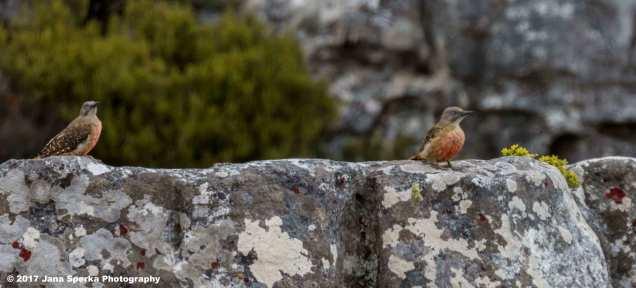 Ground-Woodpecker-01web