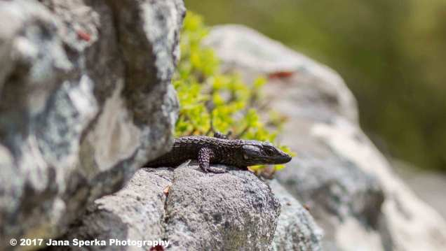 Guilded-lizard_1web