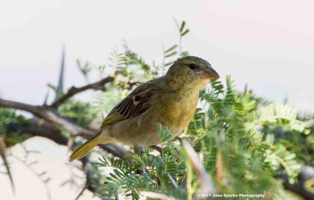 Juvenile-Canaryweb