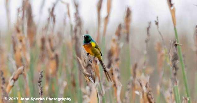 Orange-Breasted-Sunbird_2web