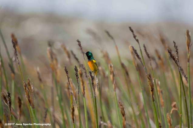 Orange-Breasted-Sunbird_8web