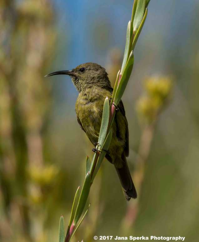 Southern-Double-Collared-Sunbird-Female_1WEB