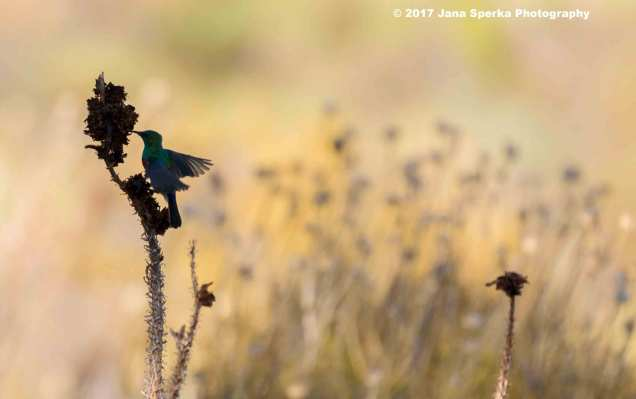Southern-Double-Collared-Sunbird_2web
