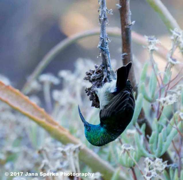 Southern-Double-Collared-Sunbird_3web