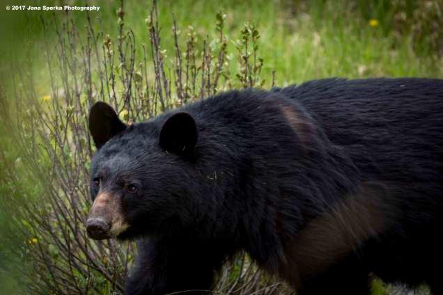 Black-Bear-#1_0web