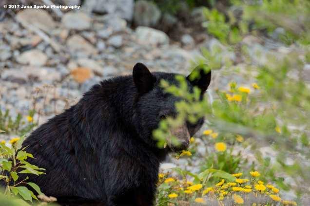 Black-Bear-#2_0web