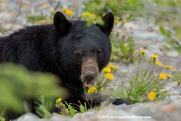 Black-Bear-#2_10WEB