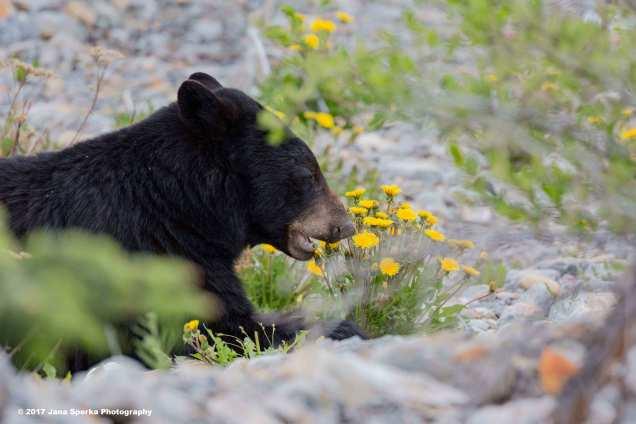 Black-Bear-#2_2WEB