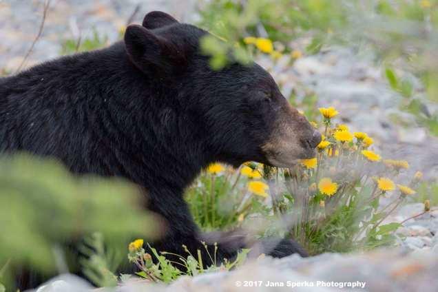 Black-Bear-#2_3WEB