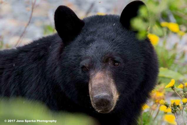 Black-Bear-#2_7WEB