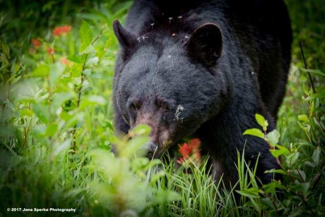 Black-Bear-#3_0WEB