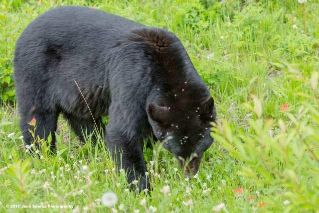 Black-Bear-#3_2WEB