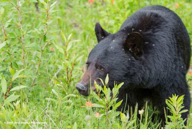 Black-Bear-#3_3WEB
