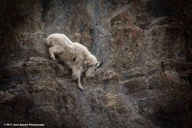 Mountain-Goat_3web